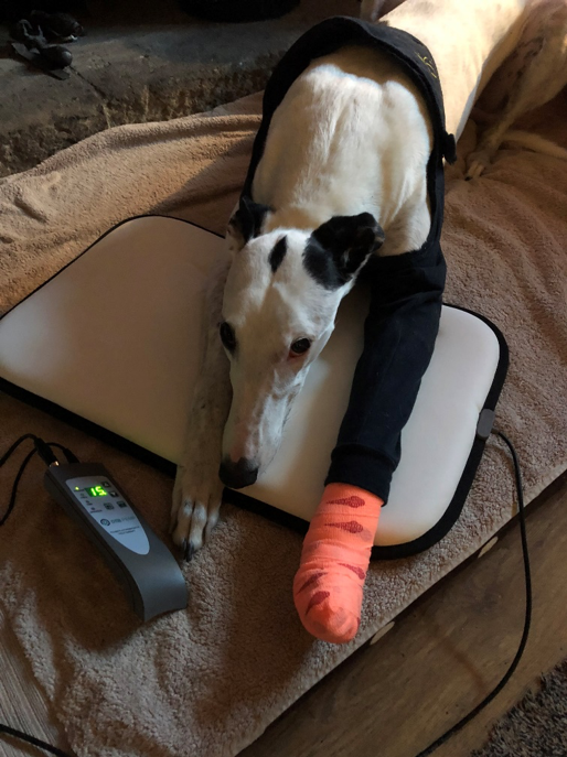 Black and white greyhound lays with front left leg extended out and wrapped in a black sling with orange vet wrap around the paw.